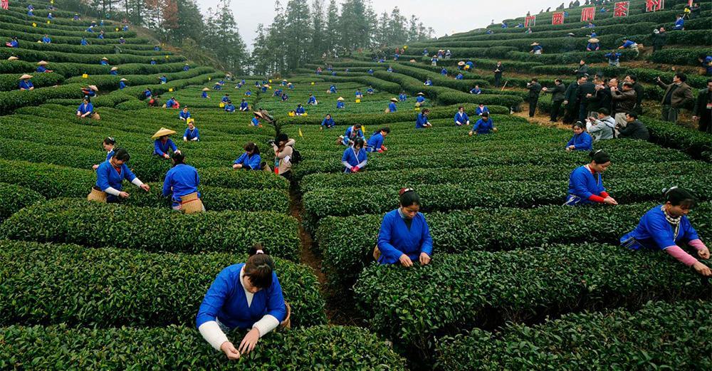 Выращивание зелёный чай 88